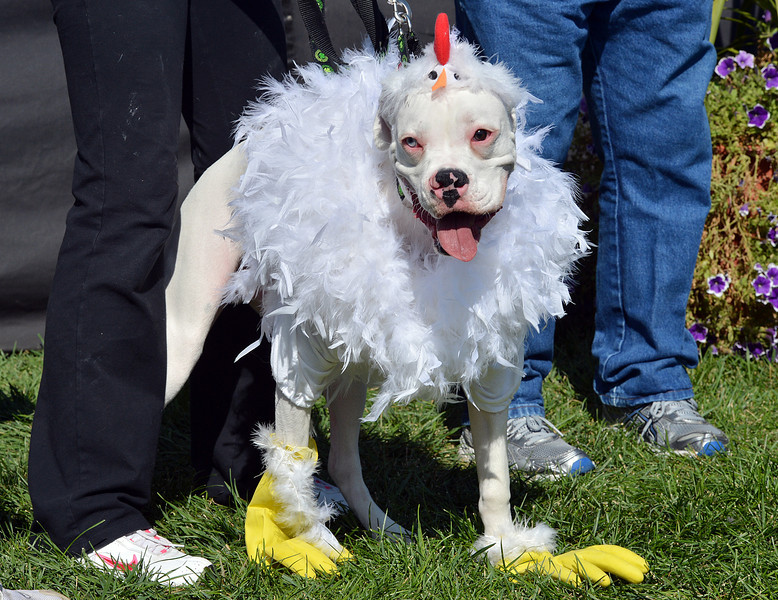 Rhiley an 8 1/2 month-old boxer, woned by Kelly, Rick andJessica Whitcomb, was dressed as a chicken and won the  grand champion in the Best Dressed Dog contest during Broomfield Days at Midway Park.<br /> September 15, 2012<br /> staff photo/ David R. Jennings