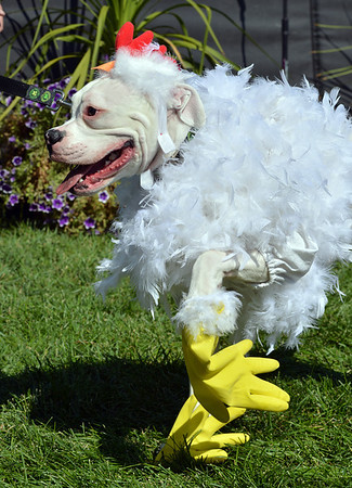 Rhiley an 8 1/2 month-old boxer, owned by Kelly, Rick and Jessica Whitcomb, was dressed as a chicken and won the grand champion in the Best Dressed Dog contest during Broomfield Days at Midway Park.<br /> September 15, 2012<br /> staff photo/ David R. Jennings