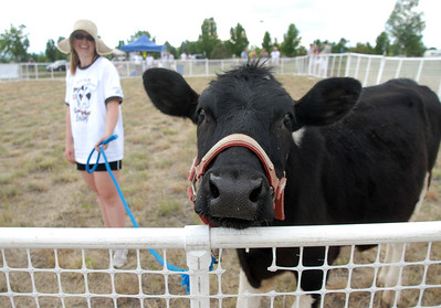Elaine Jones leads Fred the Cow around the pen for the Cow Plop Drop fundraiser for Meals on Wheels at the Great American Picnic at the Broomfield County Commons Park on Monday.  July 4, 2011 staff photo/ David R. Jennings