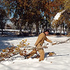 Matthew Martella, parks operations for the Broomfield City and County, on Wednesday, drags a tree branch, which fell in Northmoor Park due to the October snow storm earlier this week, to the wood chipper.<br /> October 27, 2011<br /> staff photo/ David R. Jennings