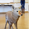 Mary Ann Bonnell, City of Aurora naturalist, explains different behaviors of coyotes interacting with a mannequin coyote during her coyote observer training course as a part of the Denver Metro Area Coyote Behavior Study at the Broomfield Community Center on Thursday.<br /> June21, 2012<br /> staff photo/ David R. Jennings