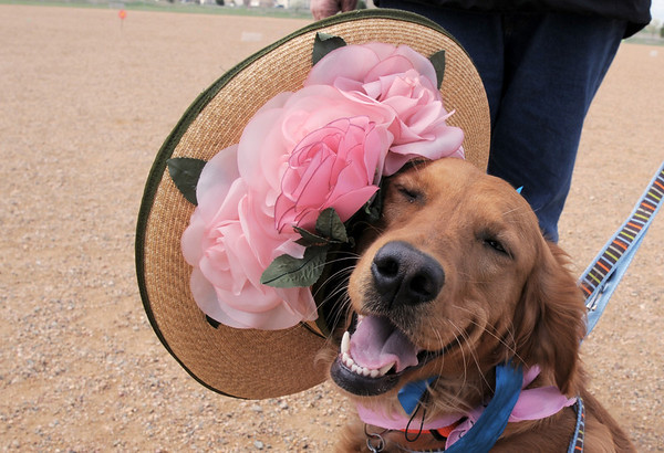 Piper, owned by Bill and Evon Gowdy, wears an Easter bonnet  during the Easter Egg Hunt for Dogs at the Broomfield County Commons Dog Park.<br /> <br /> April 23, 2011<br /> staff photo/David R. Jennings