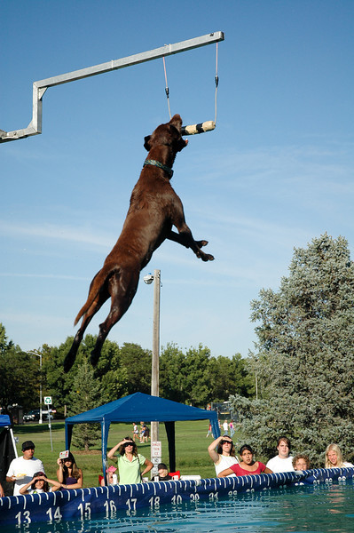 A dog jumps for height at the Dock Dogs competition during Broomfield Days on Saturday afternoon.<br /> Phoro/Dylan Otto Krider