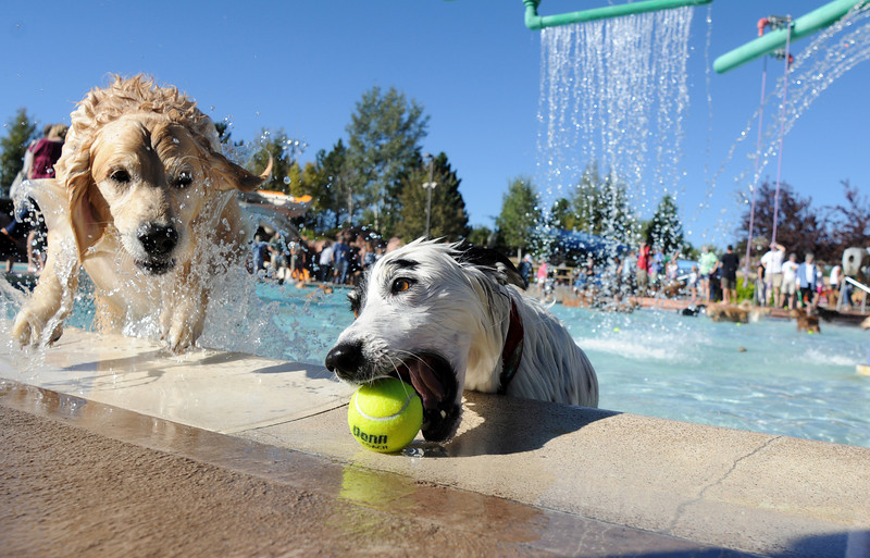 BE0919DAZE01<br /> Annie, a Border Collie owned by Nicole Hunter, grabs a tennis ball on the edge of the pool as a Golden Retriever jumps out of the pool during Dog Daze at the Bay on Saturday.<br /> <br /> September 11, 2010<br /> staff photo/David R. Jennings