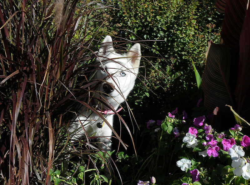 BE0919DAZE16<br /> Penelope peeks out from the flowers and plants while playing at Dog Daze at the Bay on Saturday.<br /> <br /> September 11, 2010<br /> staff photo/David R. Jennings