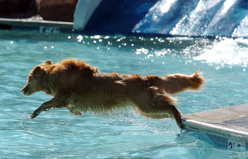 BE0919DAZE05<br /> A Golden Retriever dives off the edge of the pool during Dog Daze at the Bay on Saturday.<br /> <br /> September 11, 2010<br /> staff photo/David R. Jennings