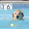 Marmaduke swims for a tennis ball during Dog Daze at the Bay on Saturday.<br /> September 10, 2011<br /> staff photo/ David R. Jennings