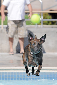 Clarence jumps into the water running after the ball tossed by his owner Justin Homalka during Dog Daze at the Bay on Saturday. September 10, 2011 staff photo/ David R. Jennings