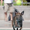Clarence jumps into the water running after the ball tossed by his owner Justin Homalka during Dog Daze at the Bay on Saturday.<br /> September 10, 2011<br /> staff photo/ David R. Jennings