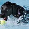 A Lab grabs for a ball in the water during Dog Daze at the Bay on Saturday.<br /> September 10, 2011<br /> staff photo/ David R. Jennings
