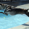 Clarence dives into the water chasing after a tennis ball tossed by owner Justin Homolka during Dog Daze at the Bay on Saturday.<br /> September 10, 2011<br /> staff photo/ David R. Jennings