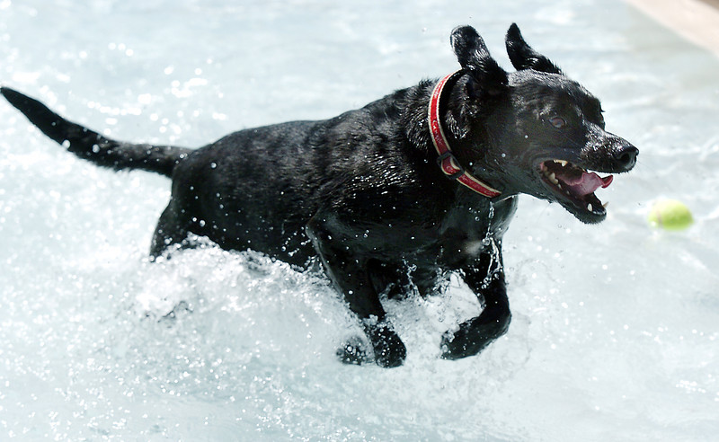 Stella runs in the water during Dog Daze at the Bay on Saturday.<br /> September 10, 2011<br /> staff photo/ David R. Jennings