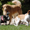 Some dogs decided to run and play not going into the water  during Dog Daze at the Bay on Saturday.<br /> September 10, 2011<br /> staff photo/ David R. Jennings