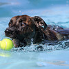 Clarence garbs for a tennis ball during Dog Daze at the Bay on Saturday.<br /> September 10, 2011<br /> staff photo/ David R. Jennings