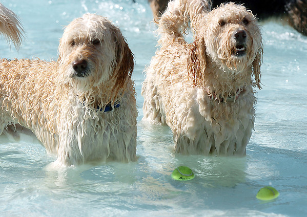 Two dogs wait for their owners while standing in the pool  during Dog Daze at the Bay on Saturday.<br /> September 10, 2011<br /> staff photo/ David R. Jennings