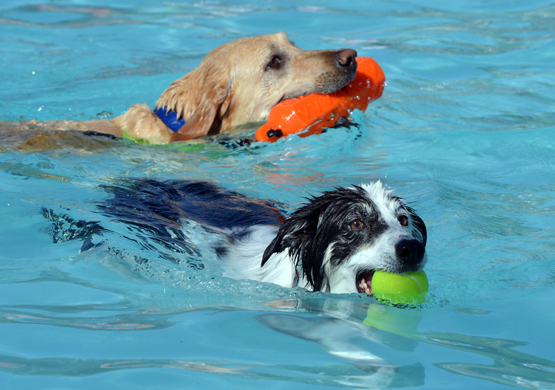 Annie Swims back to owner Nicole Hunter during the first session of Dog Daze at the Bay on Saturday at The Bay Aquatic Park.<br /> September 8, 2012<br /> staff photo/ David R. Jennings