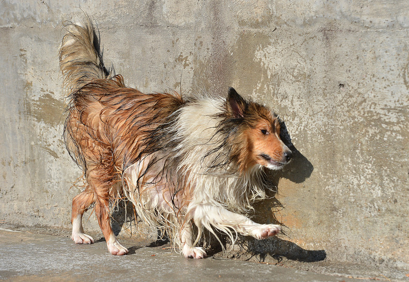 After getting wet Robbie a sheltie owned by Catherine Elliott, uses a wall to rub water off during the first session of Dog Daze at the Bay on Saturday at The Bay Aquatic Park.<br /> September 8, 2012<br /> staff photo/ David R. Jennings