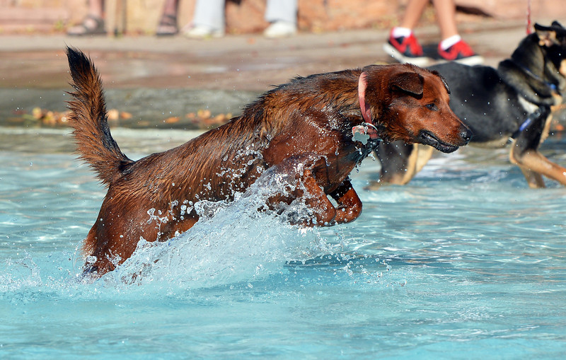 Vinny owned by Chris Volek jumps for a tennis ball in the water during the first session of Dog Daze at the Bay on Saturday at The Bay Aquatic Park.<br /> September 8, 2012<br /> staff photo/ David R. Jennings