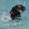 Dutchess owned by Cortney Warren swims back to the pool's edge during the first session of Dog Daze at the Bay on Saturday at The Bay Aquatic Park.<br /> September 8, 2012<br /> staff photo/ David R. Jennings