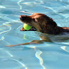 A golden retriever swims with a ball in it's mouth during the first session of Dog Daze at the Bay on Saturday at The Bay Aquatic Park.<br /> September 8, 2012<br /> staff photo/ David R. Jennings