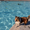 Robbie a Sheltie runs around the edge of the pool during the first session of Dog Daze at the Bay on Saturday at The Bay Aquatic Park.<br /> September 8, 2012<br /> staff photo/ David R. Jennings