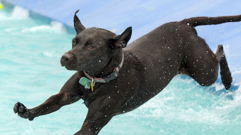 Finnigan, a Chocolate Lab, jumps into the pool after going down the slide during Dog Daze at the Bay on Saturday.<br /> <br /> <br /> Sept. 12, 2009<br /> Staff photo/David R. Jennings
