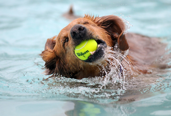 Milan a Golden Retriever, owned by Nate Olson, grabs a ball in the water during Dog Daze at the Bay on Saturday.<br /> <br /> <br /> Sept. 12, 2009<br /> Staff photo/David R. Jennings