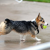 Ryley, left, a Corgi, owned by Lori Hughes, runs with a tennis ball at the pool's edge during Dog Daze at the Bay on Saturday.<br /> <br /> <br /> Sept. 12, 2009<br /> Staff photo/David R. Jennings