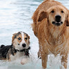Ryley, left, a Corgi, owned by Lori Hughes, tries to keep up with the bigger dogs running in the pool during Dog Daze at the Bay on Saturday.<br /> <br /> <br /> Sept. 12, 2009<br /> Staff photo/David R. Jennings