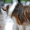 Hercules, a Shelty owned by Gwen Marino, shakes off water after going into the pool during Dog Daze at the Bay on Saturday.<br /> <br /> <br /> <br /> Sept. 12, 2009<br /> Staff photo/David R. Jennings