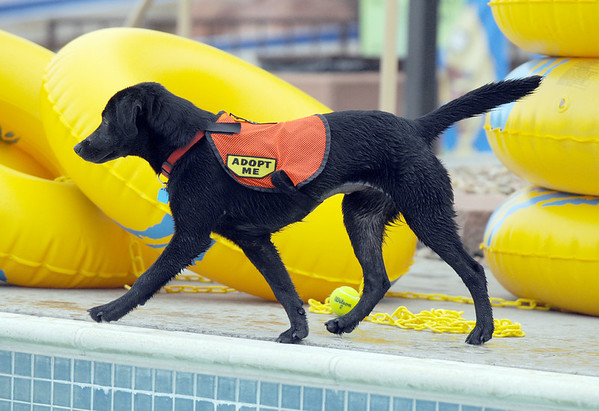 "A puppy with Rocky Mountain Lab Rescue plays while wearing an ""Adopt Me"" harness during Dog Daze at the Bay on Saturday.<br /> <br /> <br /> Sept. 12, 2009<br /> Staff photo/David R. Jennings"