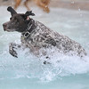 Doc, a German Shorthaired Pointer, runs through the water to retrieve a tennis ball thrown by his owner James Sondrup during Dog Daze at the Bay on Saturday.<br /> <br /> <br /> Sept. 12, 2009<br /> Staff photo/David R. Jennings