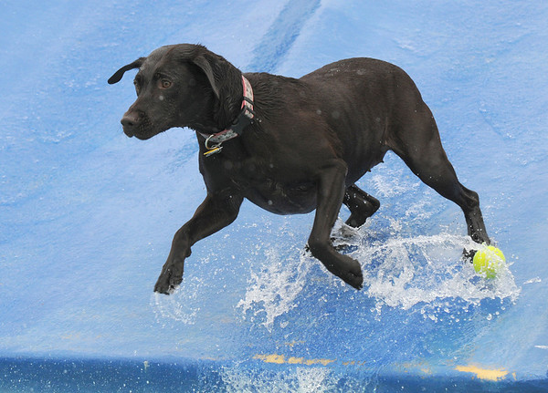 Finnigan, a Chocolate Lab, gets ready to dive into the pool while going down the slide during Dog Daze at the Bay on Saturday.<br /> <br /> <br /> Sept. 12, 2009<br /> Staff photo/David R. Jennings