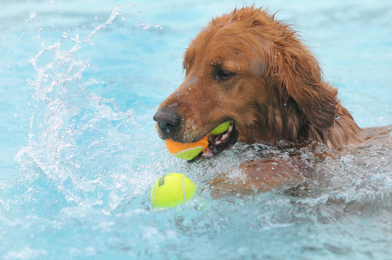 A Golden Retriever tries to get a 3rd ball into his mouth while swimming in the pool during Dog Daze at the Bay on Saturday.<br /> <br /> <br /> Sept. 12, 2009<br /> Staff photo/David R. Jennings