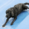 Cassidy, a Black Lab, goes down the slide during Dog Daze at the Bay on Saturday.<br /> <br /> <br /> Sept. 12, 2009<br /> Staff photo/David R. Jennings