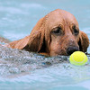 Snygg, a Bloodhound, pushes a tennis ball around the pool  with his nose during Dog Daze at the Bay on Saturday.<br /> <br /> <br /> Sept. 12, 2009<br /> Staff photo/David R. Jennings