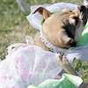 Nugget, owned by Karann Nelson, won the second place prize in the bonnet parade during the Paws in the Park egg hunt and Easter bonnet parade at the Broomfield County Commons Dog Park on Saturday.<br /> April 7, 2012 <br /> staff photo/ David R. Jennings