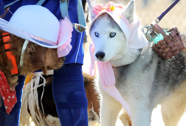 Isis, right, owned by Cathy Balogh, checks out Piper owned by Wesley Gowdy, 8, during the Paws in the Park egg hunt and Easter bonnet parade at the Broomfield County Commons Dog Park on Saturday.<br /> April 7, 2012 <br /> staff photo/ David R. Jennings