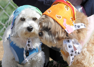 Smokie, right, aowned by Candace Joice, and Kahki, owned by Anna Orrino, wore thier bonnets for the Paws in the Park egg hunt and Easter bonnet parade at the Broomfield County Commons Dog Park on Saturday. April 7, 2012  staff photo/ David R. Jennings