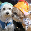Smokie, right, aowned by Candace Joice, and Kahki, owned by Anna Orrino, wore thier bonnets for the Paws in the Park egg hunt and Easter bonnet parade at the Broomfield County Commons Dog Park on Saturday.<br /> April 7, 2012 <br /> staff photo/ David R. Jennings