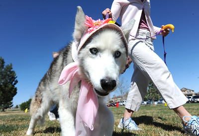 Isis, wearing an Easter bonnet,  walks with her owner Cathy Balogh during the Easter bonnet parade at the Paws in the Park egg hunt at the Broomfield County Commons Dog Park on Saturday. April 7, 2012  staff photo/ David R. Jennings