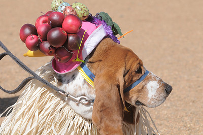 George Stussi won 1st place in the bonnet parade during the Paws in the Park egg hunt and Easter bonnet parade at the Broomfield County Commons Dog Park on Saturday.  Jack Stussi, 11, and his mother Ceecee dressed george in the winning costume. April 7, 2012  staff photo/ David R. Jennings