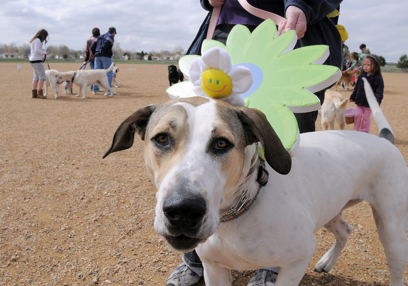 Lucy, owned by Dory Dannettell,  wears a flower before the egg hunt during the Easter Egg Hunt for Dogs at the Broomfield County Commons Dog Park on Saturday.<br /> <br /> April 23, 2011<br /> staff photo/David R. Jennings