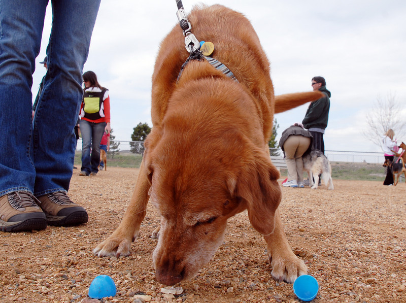 Cooper, owned by Beverly Weaver, managed to open a plastic egg to get the treat inside during the Easter Egg Hunt for Dogs at the Broomfield County Commons Dog Park on Saturday.<br /> <br /> April 23, 2011<br /> staff photo/David R. Jennings