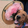 Piper, owned by Bill and Evon Gowdy, wears an Easter bonnet  during the Easter Egg Hunt for Dogs at the Broomfield County Commons Dog Park on Saturday.<br /> <br /> April 23, 2011<br /> staff photo/David R. Jennings