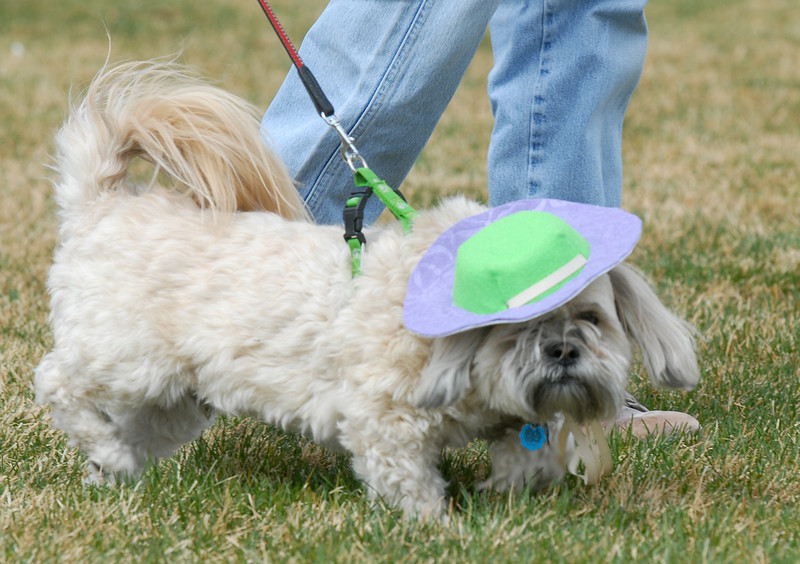 Ozzy, wearing a styish hat, walks with owner Bob Triplett during the Easter Egg Hunt for Dogs at the Broomfield County Commons Dog Park on Saturday.<br /> <br /> April 23, 2011<br /> staff photo/David R. Jennings