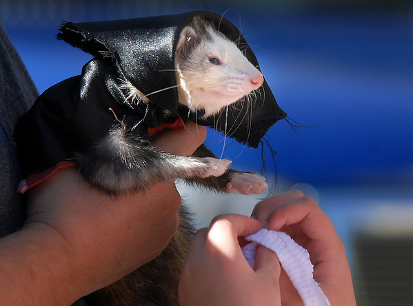Anna Nicodemus, 9, dresses her ferret Jarrad as a vampire for the costume contest at the Ferret Halloween Party at  Performance Foods on Saturday.<br /> <br /> October 16, 2010<br /> staff photo/David R. Jennings