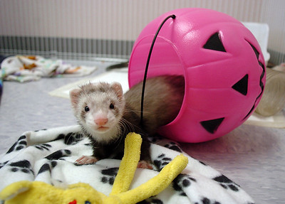 A ferret plays in a plastic pumpkin during the Ferret Halloween Party at  Performance Foods on Saturday.  October 16, 2010 staff photo/David R. Jennings