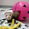 A ferret plays in a plastic pumpkin during the Ferret Halloween Party at  Performance Foods on Saturday.<br /> <br /> October 16, 2010<br /> staff photo/David R. Jennings