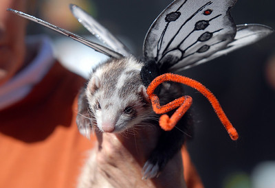 A ferret dressed as a butterfly waits to be shown to the judges for the costume contest at the Ferret Halloween Party at  Performance Foods on Saturday.  October 16, 2010 staff photo/David R. Jennings